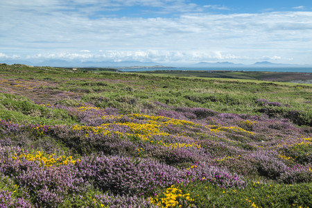 UK,Wales,Anglesey,Holy Island,blooming heath and Genista at the coast of South stack LANG_EVOIMAGES