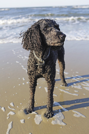 Germany,Lower Saxony,East Frisia,Langeoog,poodle standing at the beach