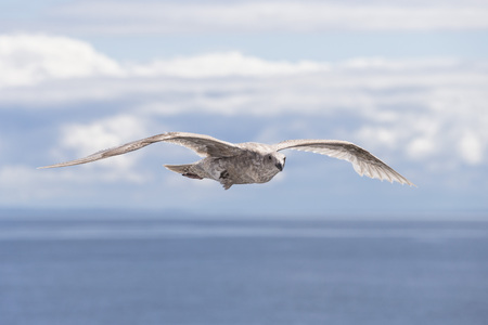 Canada,British Columbia,Vancouver Island,Young Glaucous-winged Gull (Larus glaucescens) LANG_EVOIMAGES