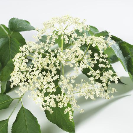 Elder flower,close up