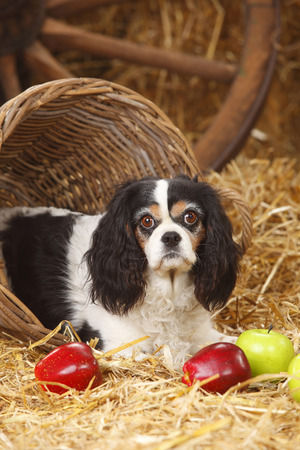 Cavalier King Charles spaniel lying at hay