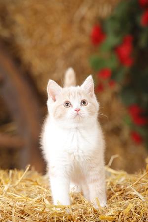 British Shorthair,kitten standing at hay