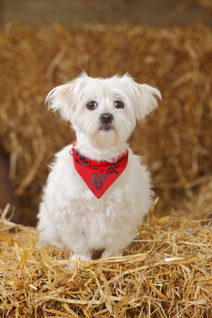 Maltese sitting with red bandana sitting at hay