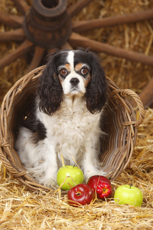 Cavalier King Charles spaniel sitting in a basket LANG_EVOIMAGES