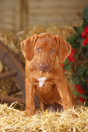Portrait of Rhodesian Ridgeback puppy sitting at hay