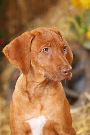 Portrait of Rhodesian Ridgeback puppy