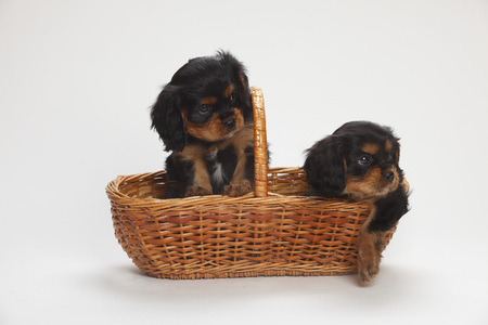 Two Cavalier King Charles spaniel puppies sitting in a basket in front of white background LANG_EVOIMAGES