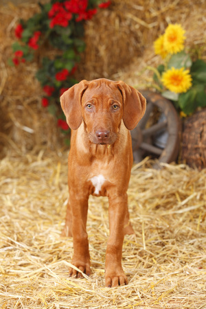 Rhodesian Ridgeback puppy standing at hay