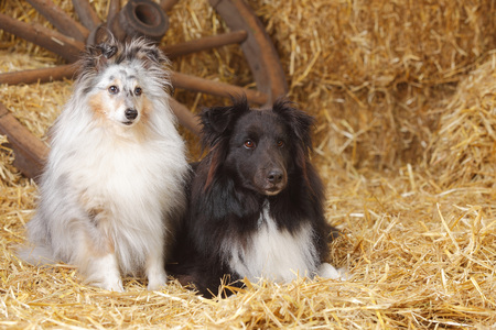 Two Shelties,Shetland Sheepdogs at hay LANG_EVOIMAGES