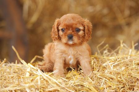 Cavalier King Charles spaniel puppy sitting at hay