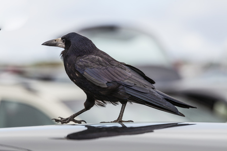 Ireland,County Clare,Rook on car roof
