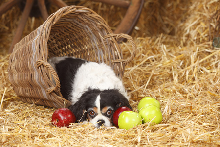 Cavalier King Charles spaniel lying in a basket