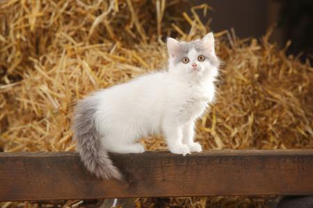 British Longhair,kitten,sitting on a wooden slat in a barn
