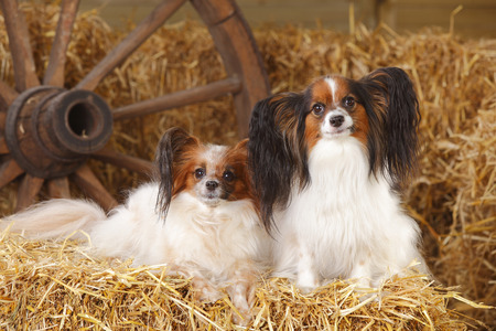 Two Papillons on bale of straw LANG_EVOIMAGES