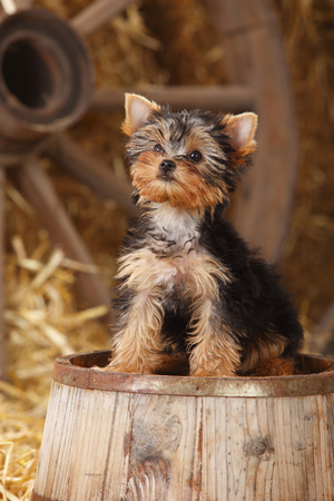Yorkshire Terrier,puppy,sitting on a tub