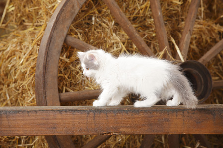 British Longhair,kitten,standing on a wooden slat in a barn LANG_EVOIMAGES