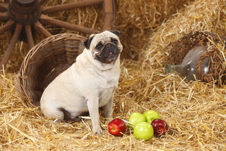 Pug sitting at hay