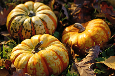 Germany,North Rhine-Westphalia,Minden,pumpkins