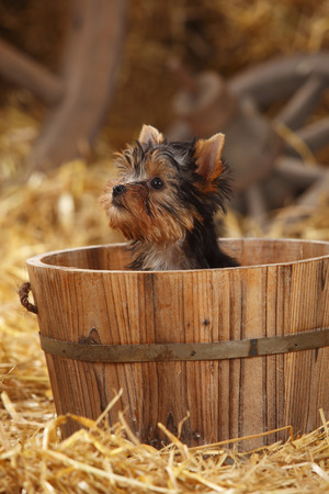 Yorkshire Terrier,puppy,sitting in a tub LANG_EVOIMAGES