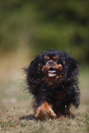 Cavalier King Charles spaniel running in a meadow