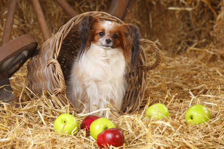 Papillon sitting in a basket
