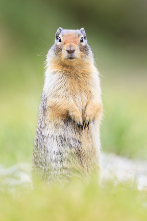 Canada, Alberta, Rocky Mountains, Jasper National Park, Banff Nationalpark, Columbian ground squirrel (Urocitellus columbianus) standing on a meadow