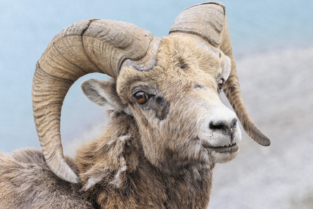 Canada, Alberta, Rocky Mountains, Jasper National Park, Banff Nationalpark, portrait of rocky mountain bighorn sheep (Ovis canadensis) LANG_EVOIMAGES