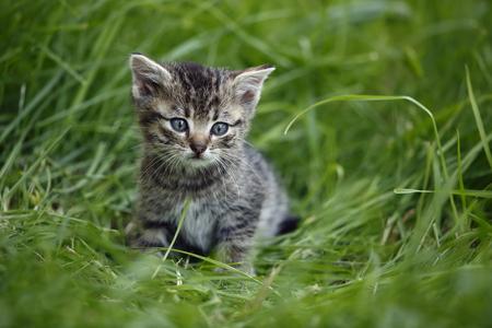 Tabby kitten (felis silvestris catus) sitting on grass