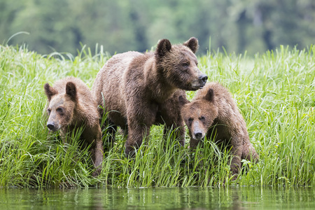Canada,Khutzeymateen Grizzly Bear Sanctuary,Female grizzly with kids at lake LANG_EVOIMAGES