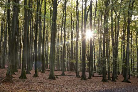 Germany,Mecklenburg-Western Pomerania,Ruegen,Jasmund National Park,beech forest against the sun