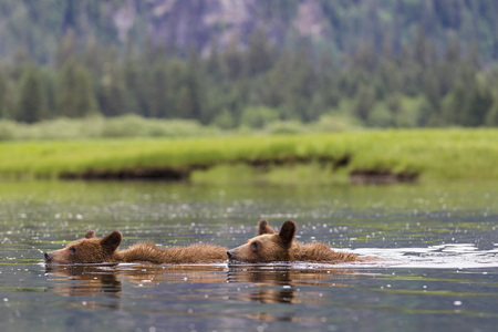 Canada,Khutzeymateen Grizzly Bear Sanctuary,Young grizzlies swimming in lake LANG_EVOIMAGES