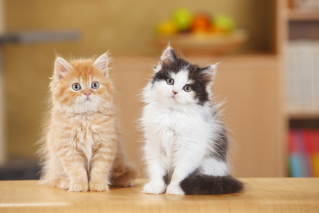 British Longhair,two kittens sitting side by side