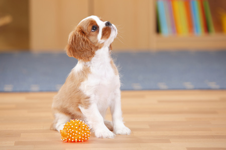 Cavalier King Charles Spaniel,puppy,with toy,looking up