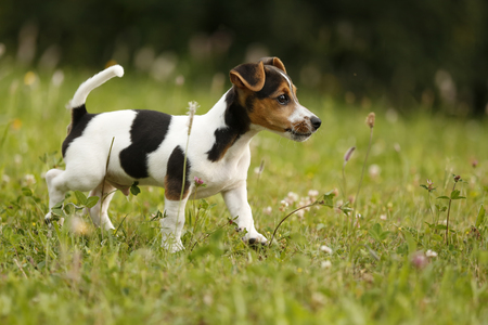 Germany,Baden-Wuerttemberg,Jack Russel Terrier puppy running on meadow