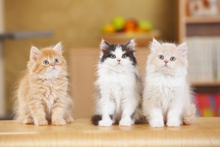 British Longhair,three kittens sitting side by side