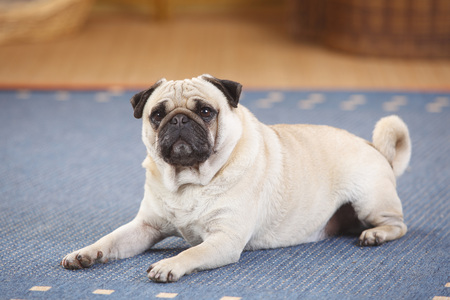 Pug lying on a carpet