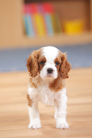 Cavalier King Charles Spaniel,puppy,standing on wooden floor LANG_EVOIMAGES