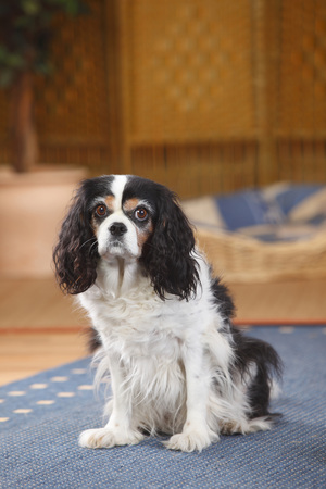 Cavalier King Charles Spaniel sitting on a carpet