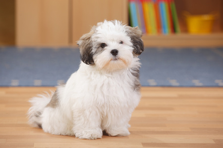 Mixed-breed dog,puppy,sitting on wooden floor
