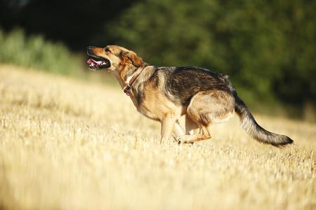 German shepherd mongrel running on a stubble field