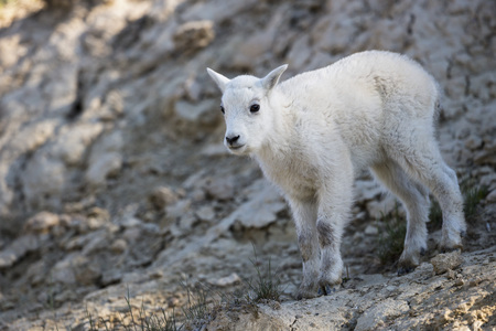 Canada, Alberta, Rocky Mountains, Jasper National Park, Banff Nationalpark, young mountain goat (Oreamnos americanus)