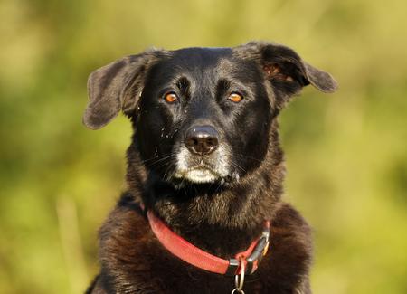 Germany,Baden-Wuerttemberg,black dog,mixed breed,portrait