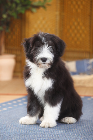 Bearded Collie,puppy,sitting on carpet LANG_EVOIMAGES