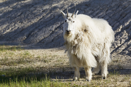 Canada, Alberta, Rocky Mountains, Jasper National Park, Banff Nationalpark, mountain goat (Oreamnos americanus) LANG_EVOIMAGES