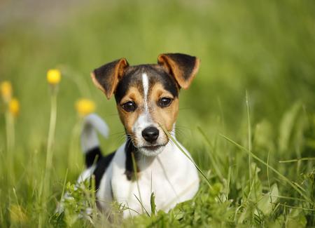Germany,Baden-Wuerttemberg,Jack Russel Terrier puppy on meadow
