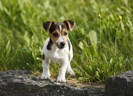 Germany,Baden-Wuerttemberg,Jack Russel Terrier puppy standing on stone in front of a meadow LANG_EVOIMAGES