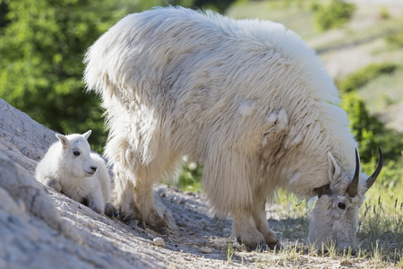 Canada, Alberta, Rocky Mountains, Jasper National Park, Banff Nationalpark, mountain goat (Oreamnos americanus) with child