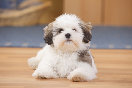 Mixed-breed dog,puppy,lying on wooden floor