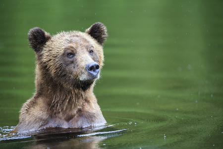 Canada,Khutzeymateen Grizzly Bear Sanctuary,Female grizzly in lake LANG_EVOIMAGES