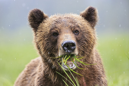 Canada,Khutzeymateen Grizzly Bear Sanctuary,Portrait of a Grizzly LANG_EVOIMAGES